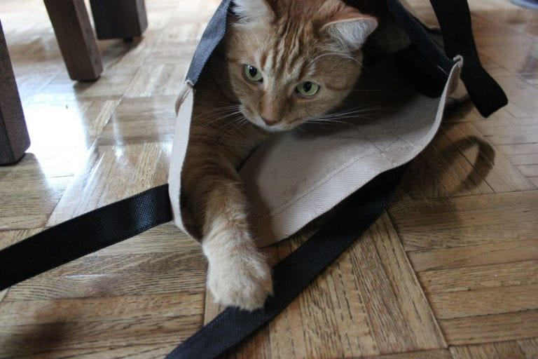 three-legged, cat, feline, amputee, tripawd,